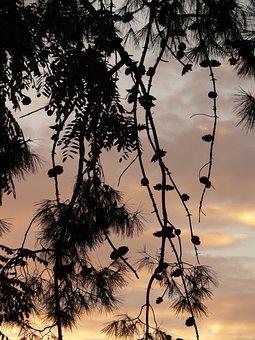 Tree, Branch, Abenstimmung, Larch, Larix