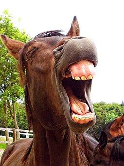 Horse, Stallion, Animal, Laughing, Yawning, Humorous