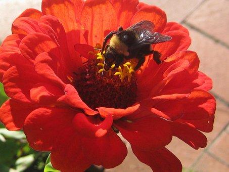 Bee, Flower, Clemens Gardens, Saint Cloud, Minnesota