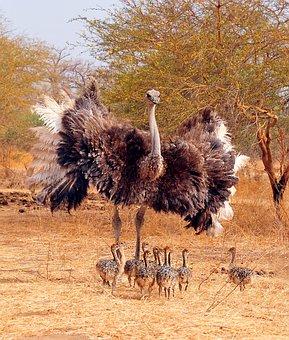 Ostrich, Bird, Clutch, Small, Chicks, Family, Animal