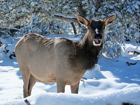 Elk, Wild, Forest, Animal, Wildlife, Nature