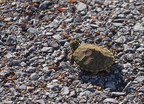 Turtle, Reptile, Animal, Wildlife, Tortoise, Wild