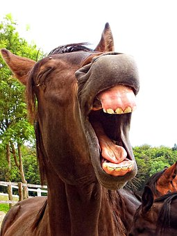 Horse, Stallion, Animal, Laughing, Yawning, Humorous