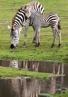 Zebra, Kid, Mother's Love, Bait, Zoo