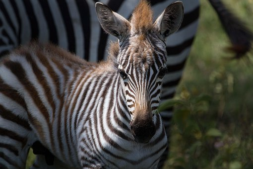 Zebra, Plains Zebra, Animals, Africa, Mammals, Safari