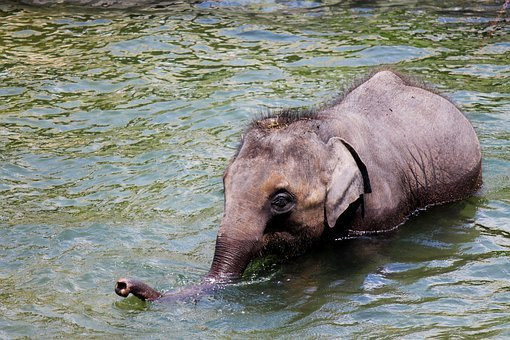 Elephants, Baby, Animals, Mammals, Swimming, Water