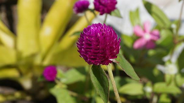 Globe Amaranth, Bachelor Button, Flowers, Amaranth