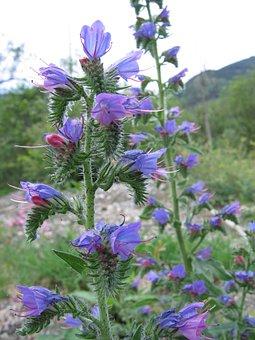 Adder's Tongue, Flowers, Violet, Purple, Plant, Bloom