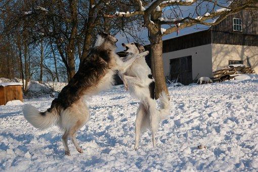 Greyhound, Romp, Borzoi