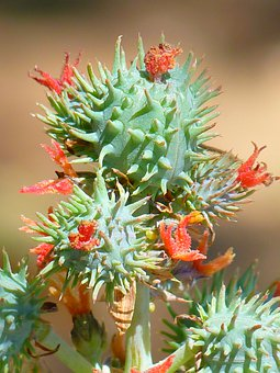 Castor Oil Plant, Castor Fruit, Blossom, Bloom, Plant