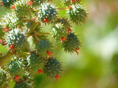 Castor Oil Plant, Castor Fruit, Blossom, Bloom, Plant
