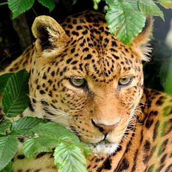 Leopard, Portrait, Zoo, Animal, Wild, Cat, Nature