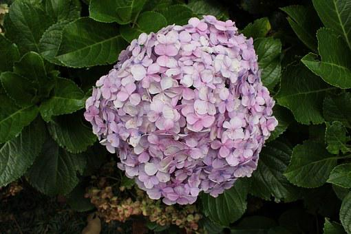 Colored Hydrangea, Colorful Flower, Natural