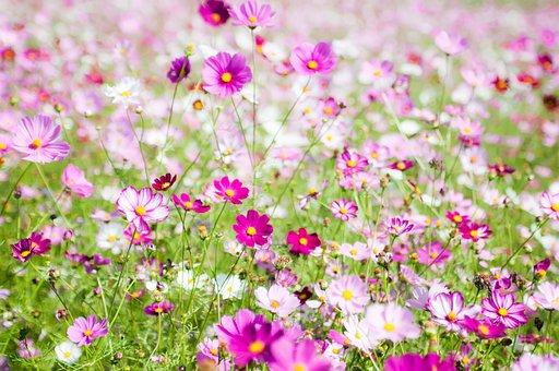 Cosmos Field, Cosmos Wind, Autumn Cosmos, Flower Fields