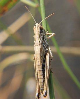 Grasshopper, Insect, Nature, Garden, Desert Locust