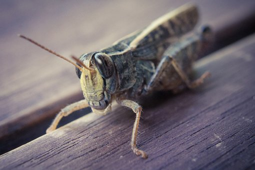 Grasshopper, Desert Locust, Insect, Macro, Nature