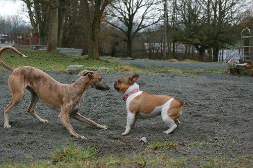 Dogs, Bulldog, Galgo, Animate, Play