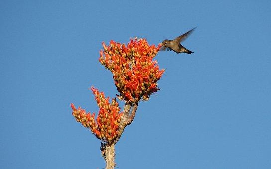 Hummingbird, Bird, Flower, Ocotillo, Flying, Wing