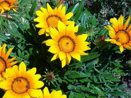 Gazanias, Flowers, Yellow, Orange, Flowering, Insects