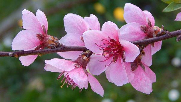 Peach Blossom, Flowery Branch, Spring, Gyümölcsvirág