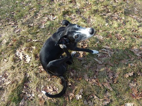 Dog, Animal, Black, Galgo Español, Spanish Greyhound
