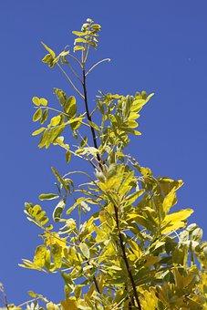 Gleditsia, Leather Sleeves Tree, Tree, Honey Locust