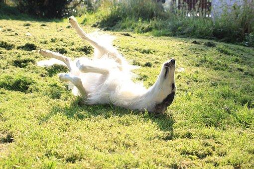 Dog, Greyhound, Borzoi, Sun