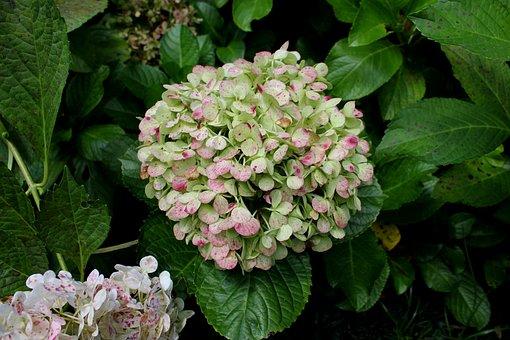 Hydrangea Garden, Flower, Colorful, Natural