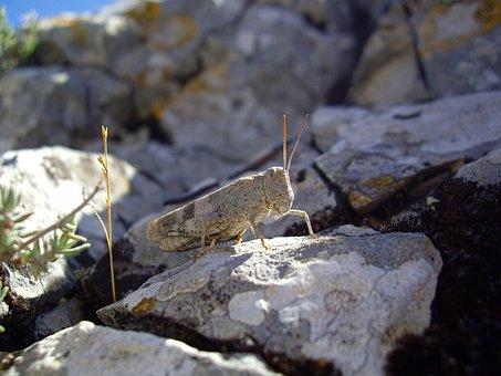 Desert Locust, Insect, Grasshopper