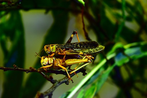 Migratory Locust, Eat, Insect, Animal, Nature, Couple