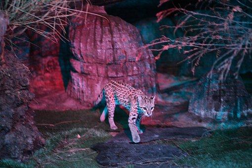 Leopard, Cat, Ocelot, Feline, Animal, Animal World