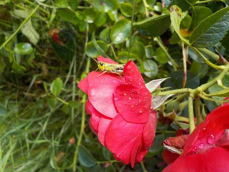 Desert Locust, Insect, Nature