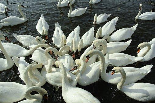 Swans, Water, River, Swan, Bird, Feeding, Nature, Birds
