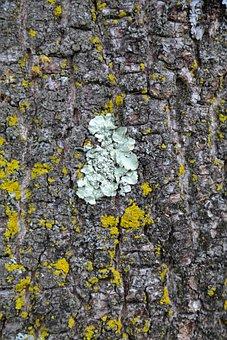 Parmelia Sulcata, Lichen, Sulcatflechte