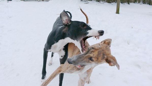 Spanish Greyhound, Dogs, Puppies