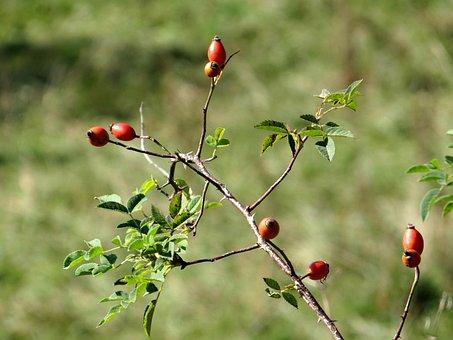 Rose Hip, Branch, Roses, Eat, Jam, Plant, Fruit, Bush