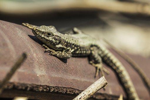 Lizard, Sunbathing, Reptile, Wildlife, Nature, Scales