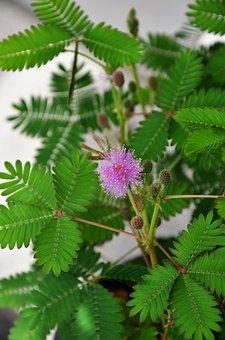 Mimosa, Pudica, Flower, Pink, Sensitive