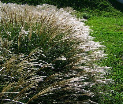 Flowering Ornamental Grass, Silvery, Wind Swaying