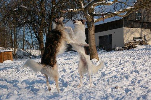 Greyhound, Snow, Borzoi