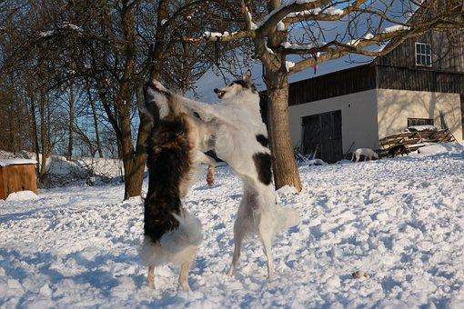 Borzoi, Greyhound, Snow