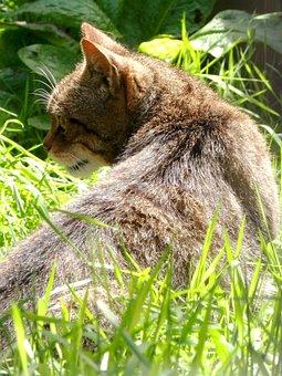 Scottish Wildcat, Wildcat, Mammal, Wild
