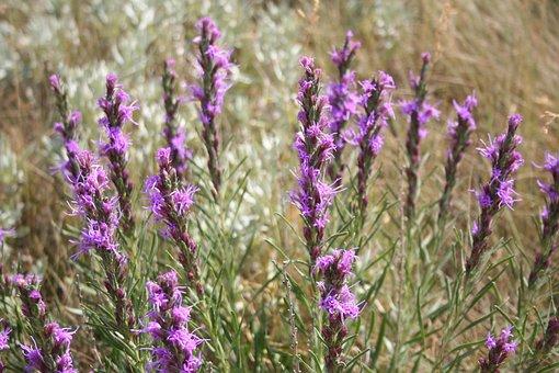 Dotted Gayfeather, Wildflower, Wyoming, Flower
