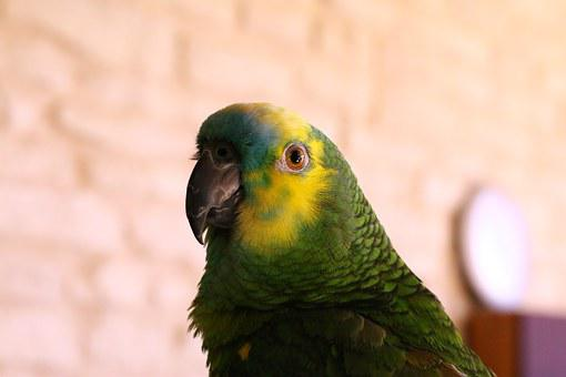 Parrot, Parrot Head, Amazon Blue Forehead, Bird, Colors