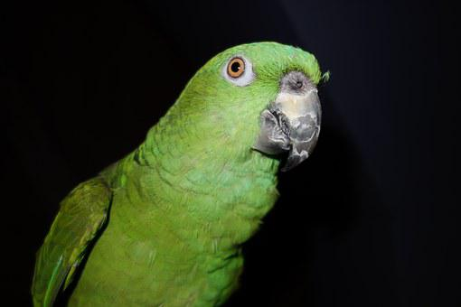 Yellow Neck Amazone, Parrot, Amazone, Bird, Animal