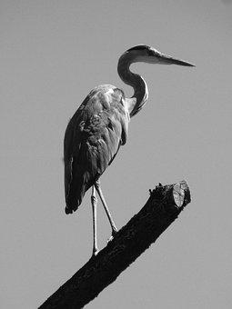Heron, Silouhette, Bill, Grey Heron, Bird, Eastern