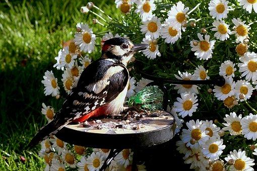 Animal, Bird, Great Spotted Woodpecker