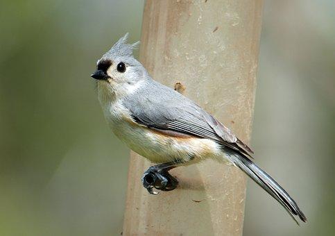 Tufted Titmouse, Bird, Animal