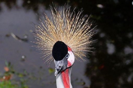 Bird, Grey Crowned Crane, Crane, Spring Crown