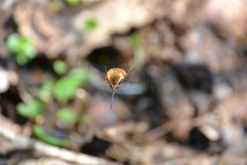 Bombylius Major, Bombyliidae, Hummelfliege, Flies